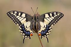 _MG_4543_Schwalbenschwanz (HelmiGloor) Tags: butterfly schweiz butterflies schmetterling schwalbenschwanz papiliomachaon kantonzrich tagfalter weiach ritterfalter