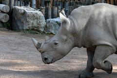 White rhinoceros (Rick & Bart) Tags: animal zoo belgium botanicalgarden rhinoceros whiterhinoceros neushoorn ceratotheriumsimum squarelippedrhinoceros brugelette breedlipneushoorn witteneushoorn rickbart thebestofday gününeniyisi rickvink pairidaiza