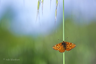 Provençal Fritillary (Melitaea deione, Spaanse parelmoervlinder)