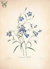 Anglų lietuvių žodynas. Žodis rampion bellflower reiškia <li>rampion bellflower</li> lietuviškai.