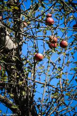 Forni  592 (scramasacs) Tags: apple friuli fornidisopra
