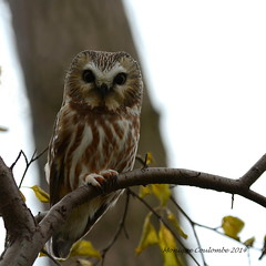Petite Nyctale - Northern Saw-Whet Owl (Monique Coulombe) Tags: fall nature automne quebec wildlife raptor owl nationalgeographic strigiformes chouette hibou rapace wildbirds aegoliusacadicus northernsawwhetowl strigidae fantasticnature petitenyctale fauneduquébec oiseauxduquébec naturesauvage oiseauxsauvages oiseauxdhiver photographequébécois birdsofquebec quebecwildlife québecnaturesauvage moniquecoulombe