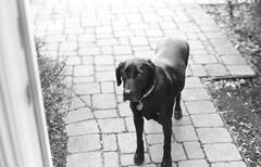 Violet - 26 December 2014 (Fogel's Focus) Tags: dog labrador violet olympus 11 blacklab 20c fomapan100 olympusom1n microphen fomafomapan 831min olympusom50mmf1l4
