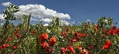 terra della daunia 352 (Piero Donofrio) Tags: nuvole italu cielo colori puglia papaveri foggia daunua