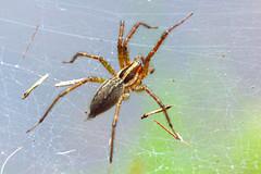 Spider عنكبوت (haidarism (Ahmed Alhaidari)) Tags: nature insect spider spiders insects حشرة grassspider طبيعة حشرات عنكبوت عناكب