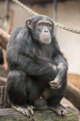 2014-12-13-10h40m55.BL7R8613 (A.J. Haverkamp) Tags: amsterdam zoo thenetherlands chimpanzee artis dierentuin chimpansee wakili canonef70200mmf28lisusmlens httpwwwartisnl pobamsterdamthenetherlands dob16102003