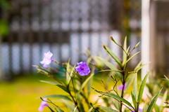 Flowers & Plants (abysal_guardian) Tags: flower ex canon eos 50mm f14 sigma dg hsm sigma50mmf14exdghsm 7dmarkii 7dm2