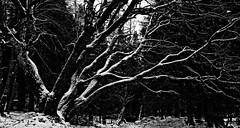Branches III (MortenTellefsen) Tags: trees blackandwhite bw snow tree nature norway forrest branches natur norwegian bergen tre sn norsk svart hvitt svarthvitt fyllingsdalen nordnesdalen