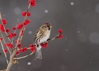 Common Redpoll on Winterberry