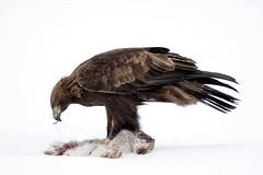 Golden-eagle_3663 (Peter Warne-Epping Forest) Tags: raptor predator canoneos goldeneagle birdofprey aquilachrysaetos