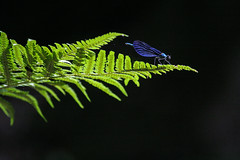 Blue dragonfly (Zyklon94) Tags: trip blue black fern color tree cute green nature animal blackbackground forest canon bug insect colorful hungary dragonfly wildlife canon350d bracken 70300 tinyanimal