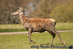 2016-05-04-028 (Andy Beattie Photography) Tags: uk england nature mammal photography europe photographer wildlife yorkshire deer halifax ungulate reddeer northyorkshire westyorkshire ripon eventoed pecora cervuselaphus hoofed andybeattie andybeattiephotography