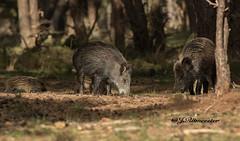 Zeugen met frisling (jeannette.dejong) Tags: groen ngc wildzwijn veluwe grijs bruin gelderland hogeveluwe naturelovers zeug frisling