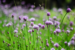 (sarahpadoan) Tags: italy flower green love nature beautiful beauty 50mm nikon focus italia best verona passion veneto parcosigurt fioridiloto d3100 nikontop sarahpadoanphotography