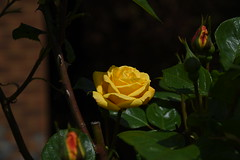 DSC_1576 Rose (PeaTJay) Tags: flowers roses plants macro nature rose gardens fauna outdoors reading flora micro closeups berkshire rosebuds lowerearley nikond750