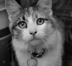 Runi (siinestesiia) Tags: portrait blackandwhite cat kitten retrato kitty gata gatita