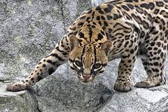 """YOU... lookin' at ME?"" (ucumari photography) Tags: animal inca female mammal zoo nc north may carolina ocelot 2016 specanimal specanimalphotooftheday ucumariphotography dsc2228 specanimaliconofthemonth"