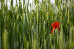 Dancing in the green ((Raffaella@)) Tags: light red sun verde green may ears solo poppy onlyone sole rosso maggio papavero spighe