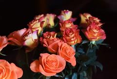 DSC_1528 Roses (PeaTJay) Tags: flowers roses plants macro nature rose gardens fauna reading flora sigma indoors micro closeups berkshire rosebuds lowerearley nikond750