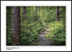 Coming Through (Chalky666) Tags: wood trees painterly fern tree leaves woodland path surrey