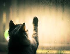 Where Are You? (Explored) (Kenny Dong) Tags: sunset cats sunshine rain cat canon kitten dof bokeh tabby kittens depthoffield siberian raining tabbycat siberianmix