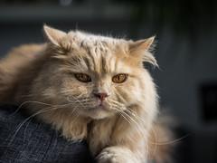 Fluffi Olli (ChrisTalentfrei) Tags: cat kitten dof sony kitty fluffy adobe katze haustier kater a7 tier tomcat lightroom schrfentiefe britisch mieze longhaircat langhaar sonyalpha highlandercat ilce7 fe70400mmf4goss