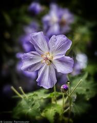 Spring Brings Rain (mjardeen) Tags: blue plant flower color green mamiya nature washington petals solitude dof purple bokeh outdoor depthoffield 55mm stamen wa serene tacoma f18 northslope a7ii sekor nikcolorefex mamiyasekor55mmf18 a7m2 ilce7m2