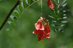 Rattle Box Flowers (bamboosage) Tags: macro with cosina mc 12 55 vivitar teleconverter 2x focusing