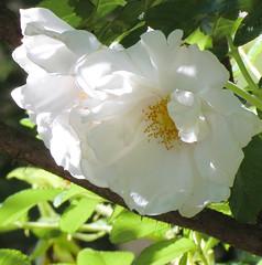 June Rose Bloom (mahar15) Tags: flower nature rose outdoors whiteflower bloom whiterose shrubrose