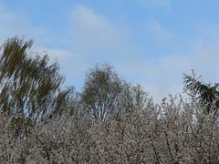 treetops and sky - east frisia (achatphoenix) Tags: home treetops sky ostfriesland garden clouds ciel cielo nuages spring springtime bendorbreak