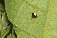 Theridula species - Hamilton County, Ohio, USA - August 12, 2015 (mango verde) Tags: theridulaspecies theridiidae cobwebspiders theridula spider fourseasons hamiltoncounty ohio usa mangoverde