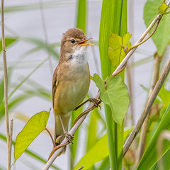 Reed Warbler (andymulhearn) Tags: canon somerset reedwarbler apexpark flickrbirds eos7d2 sigma150600mmc