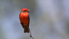 Vermillion Flycatcher   San Pedro River   Sierra Vista   AZ   2016-05-09at08-51-494 (HarmonyonPlanetEarth) Tags: nature birds slideshow