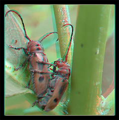 Tetraopes Tetrophthalmus, Mating Red Milkweed Beetles on Milkweed 2 - Anaglyph 3D (DarkOnus) Tags: red macro closeup insect stereogram 3d day phone pennsylvania cell anaglyph stereo mating milkweed beetles stereography buckscounty hump huawei tetraopes ihd hihd tetrophthalmus mate8 insecthumpday darkonus