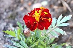 Soria_0178 (Joanbrebo) Tags: park flowers parque espaa flores fleur spain blossom blumen fiori soria parc flors autofocus castillaylen alamedadecervantes efs18135mmf3556is canoneos70d