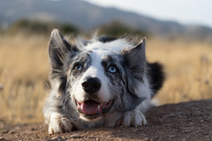 DSC06161 (jonbuntu) Tags: bordercollie pastor perro mascota malaga lacaladelmoral rincondelavictoria dog shepherd pet sheep bluemerle azulmirlo bestfriend roa