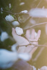The blood that runs through me (Picea abies) Tags: slr film 35mm spring blossoms magnolia springtime reverie fujipro400h minoltaxd