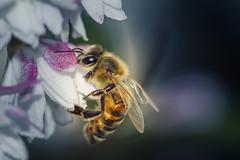 _DSC2188 (oolcgoo) Tags: flowers macro sony blumen bee sp adobe alpha makro tamron 90mm slt biene amount apsc a77mii