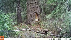 BLM using satellites to study fishers in southern Oregon (BLMOregon) Tags: oregon mammal wildlife weasel fisher endangered fishers oregonwildlife threatened pacificfisher