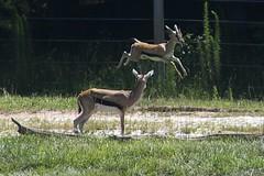 high hurdles (ucumari photography) Tags: ucumariphotography tomsonsgazelle tommies animl mammal hoofstock nc north carolina zoo rio2016 olympics highhurdles 2016 june dsc7041