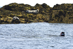 Swimming with seals (mothclark62) Tags: trip sea wild tourism nature st swimming swim mammal island grey islands coast boat marine rocks wildlife shoreline tourist tourists snorkeling seal seals martins eastern mammals isles scilly scillies pinipeds piniped menawethan