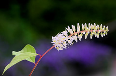 Itea virginica 'Henry's Garnet' (HansHolt) Tags: white flower macro canon petals 300d purple bokeh buds wit canoneos300d paars bloem knoppen bloemblaadjes canonef100mmf28macrousm itea iteavirginica henrysgarnet