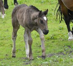 DSC_4500 (d90-fan) Tags: horse animal outdoors austria sterreich nationalpark natur nationalparc rauris fohlen hohetauern httwinkltal