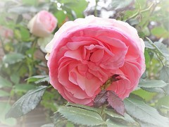20160614b Rose Pierre de Ronsard (@bodil) Tags: pink france rose normandie calvados pierrederonsard