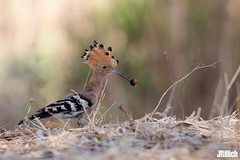 Hoopoe, Wiedehopf, Upupa epops @ HaYarkon, Tel Aviv, Israel, 2016, urban nature (Jan Rillich) Tags: park urban sun nature beautiful beauty animal june fauna digital canon photography eos israel photo telaviv spring flora foto fotografie image jan wildlife picture free sunny urbannature canon5d guest upupaepops hoopoe 2016 animalphotography hayarkon wiedehopf nahalhayarkon janrillich rillich