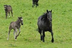 DSC_4490 (d90-fan) Tags: horse plant animal outdoors austria sterreich nationalpark natur deer pferde pferd nationalparc rauris fohlen hohetauern httwinkltal