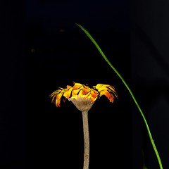 subject (mohamedyamin_masop) Tags: olympus penf closeup subject flower plant stilllife square