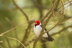 Yellow-Billed Cardinal (Paroaria capitata) (Elijah Otto) Tags: red tree bird nature animal yellow hawaii cardinal head wildlife headed billed