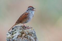 Swamp sparrow (Joe Branco) Tags: green nature birds branco wildlife joe sparrow songbirds swampsparrow nikond500 joebrancophotography lightroomcc2015 photoshopcc20155