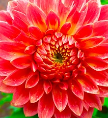 Dahlia (Steve-h) Tags: cameraphone ireland red summer dublin orange naturaleza white colour green art apple nature yellow digital gold design petals europe exposure colours blossom patterns natur july eu natura iphone 2016 6s steveh iphonography